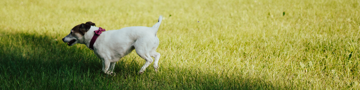 Left profile of a white Jack Russell Terrier running with a fuschia pink leather collar in grass.