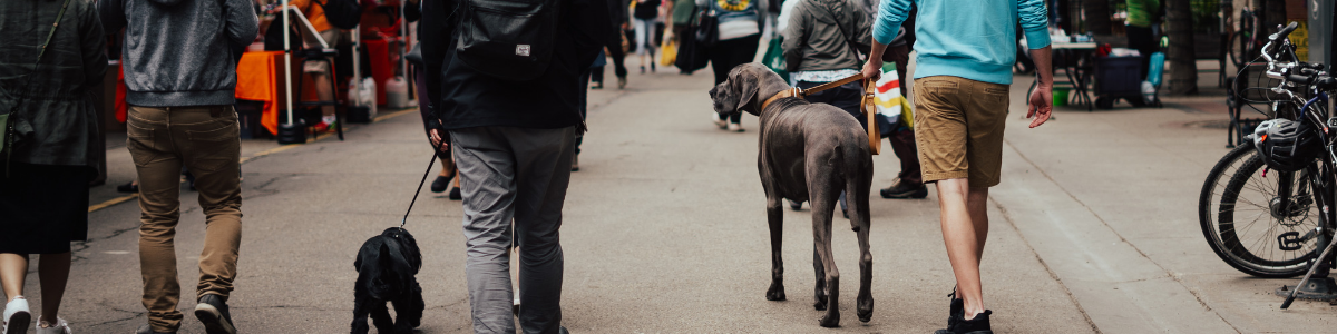 Rear left view of a blue (grey) Great Dane walking with a tan leather collar and leash in a farmer's market.