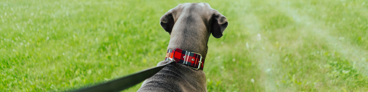 Rear view of a blue (grey) Great Dane wearing a navy/red/green/white plaid collar with a black leather leash on grass.