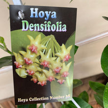 Load image into Gallery viewer, Hoya Densifolia Collectors item #38