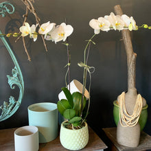Load image into Gallery viewer, Phalaenopsis Planter
