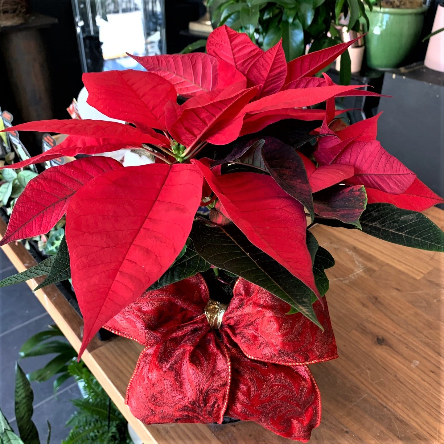Poinsettia - Small