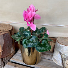 Load image into Gallery viewer, Cyclamen