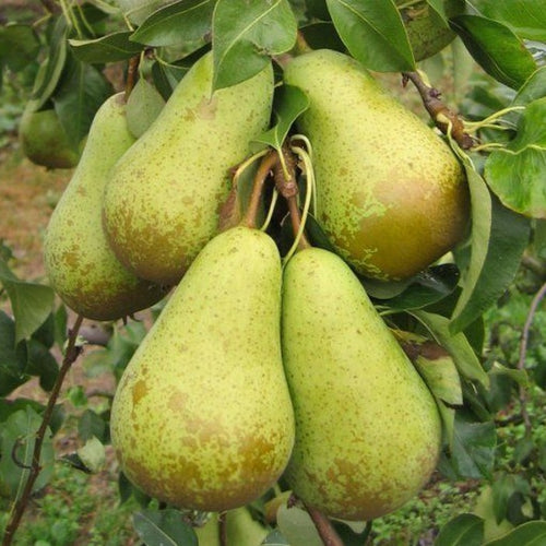 Pear (Sold Out)