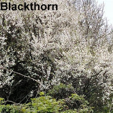 Load image into Gallery viewer, Blackthorn