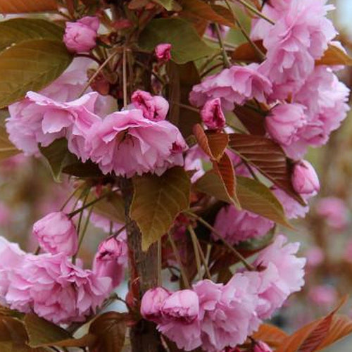 Prunus Kanzan (Available only from Nursery)