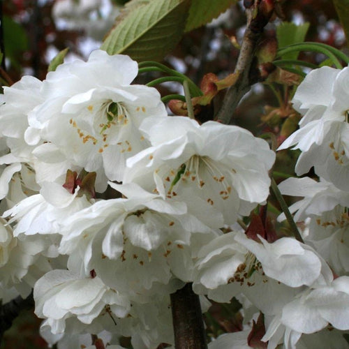 Prunus Shirotae (Available only from Nursery)