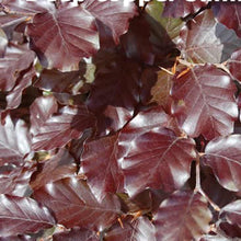 Load image into Gallery viewer, Copper Beech