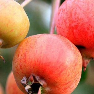 Apple (New crop ready end of October)