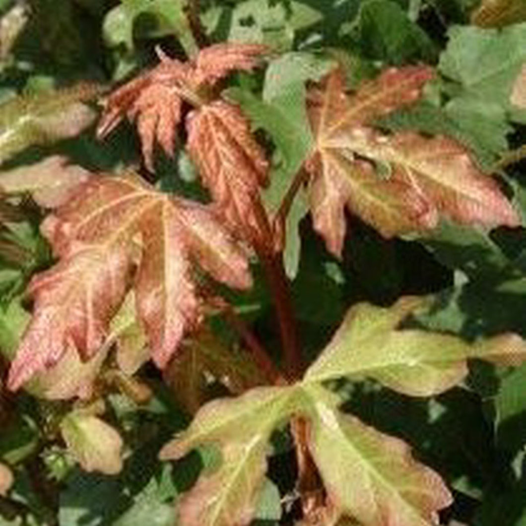 Field Maple (Temporarily out of stock )
