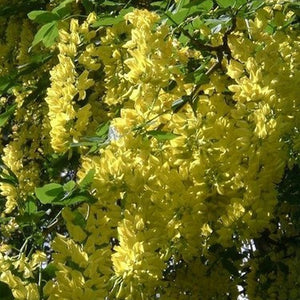 Laburnum (Available only from Nursery)