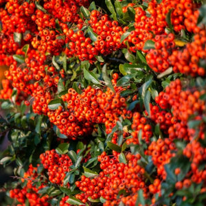 Pyracantha, Orange Glow (Red and yellow also available)