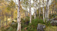 Load image into Gallery viewer, Silver Birch tree