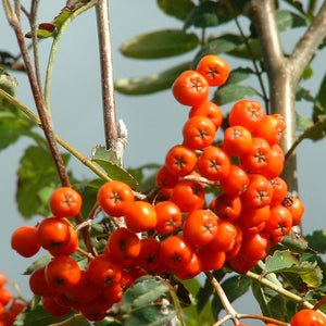Rowan ( Mountain Ash)