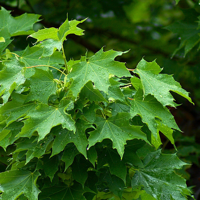 Norway Maple (Temporarily out of stock)