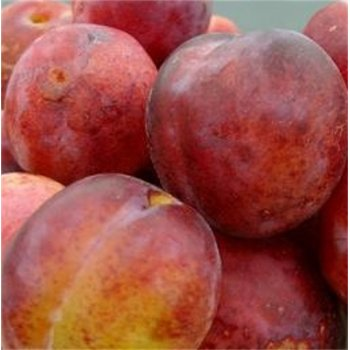 Plum (Sold out)