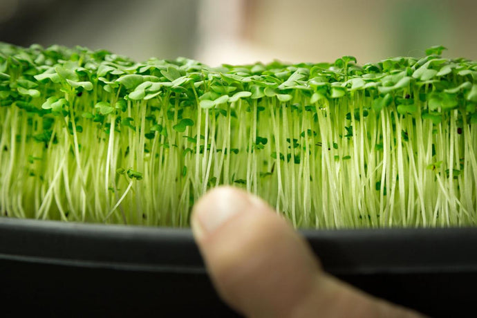 Grow Microgreens Hydroponically