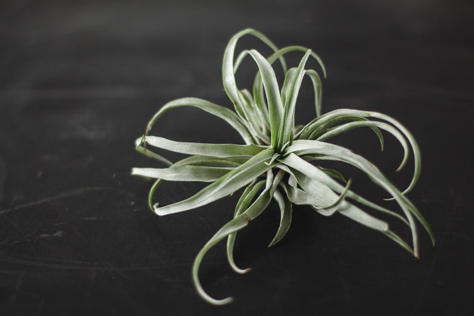 All About Air Plants