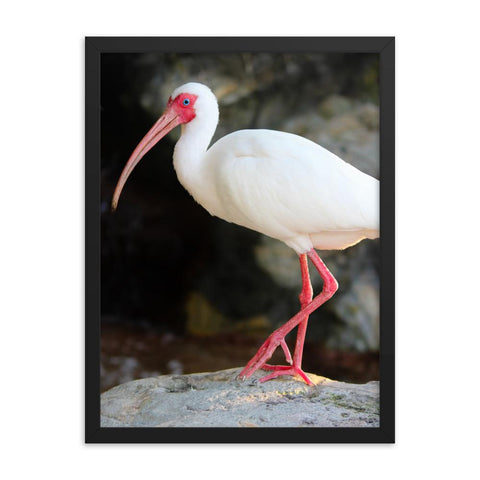 White Ibis Bird Framed Photo Print Colorful Home Decor