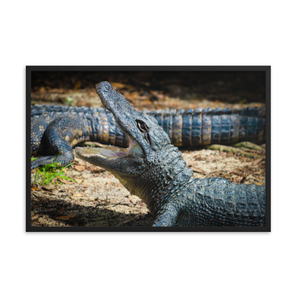 Alligator Photo - Wildlife - Framed Print