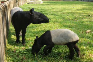 Ten Things You Might Not Know About the Tapir