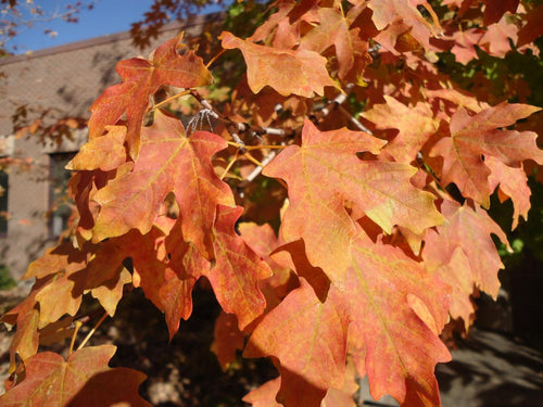 big tooth/ canyon maple  tree fall leaves
