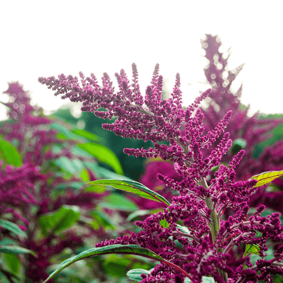 Amaranth: Mayo Indian