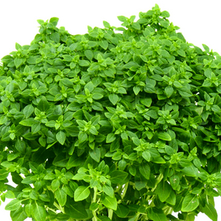 Spicy Bush Basil