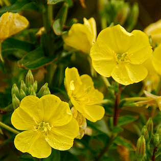 Evening Primrose: Tina James' Magic