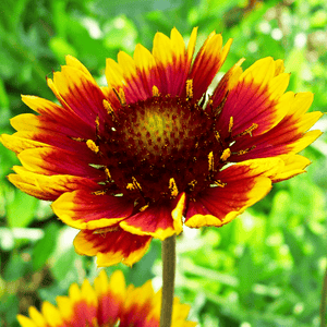 Gaillardia: Russian Beauty