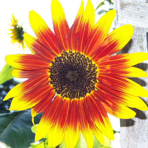 Sunflower: Inca Jewels