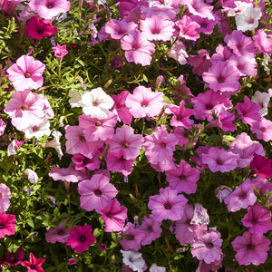 Petunia: Old Fashion Vining
