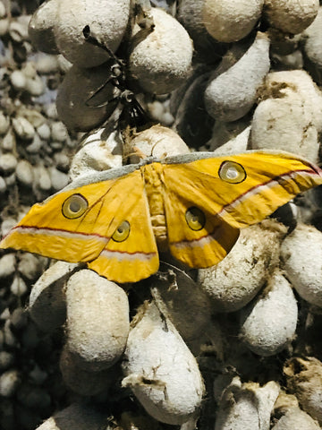 Ethical kind - Tussar silk hanging vertically to allow butterfly to hatch