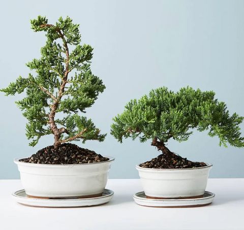 two bonsai trees