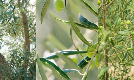 Nectar of the Gods: Olive Oil and its Countless Health Benefits