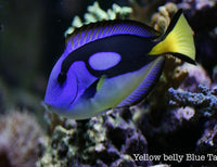 Yellow Belly Hippo Tang
