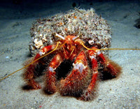 XL Hermit Crab