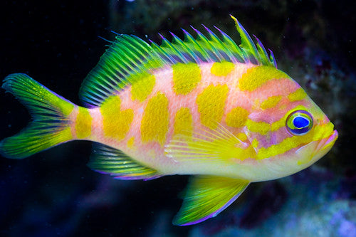 Barbonias Anthias