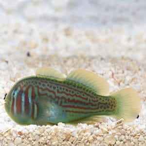 War Paint Clown Goby