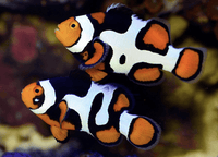 Clownfish - Mocha Domino