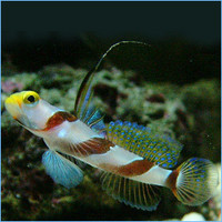 Rose Goby