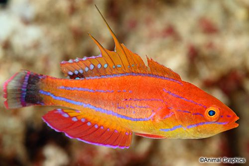 Filament Fin Flasher Wrasse