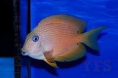 Blue Eye Bristletooth Tang