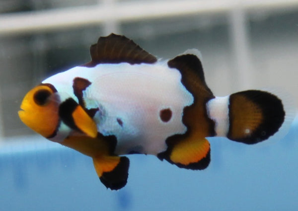 Clownfish - Black Ice
