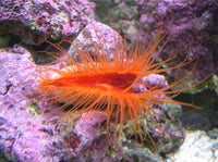 Flame Scallop