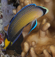 Splendid Dottyback