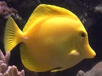 Yellow Tang - Large