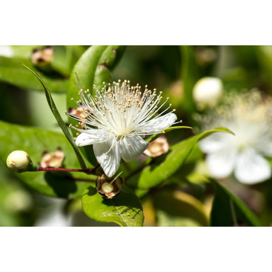 Lemon Myrtle Essential Oil 15ml