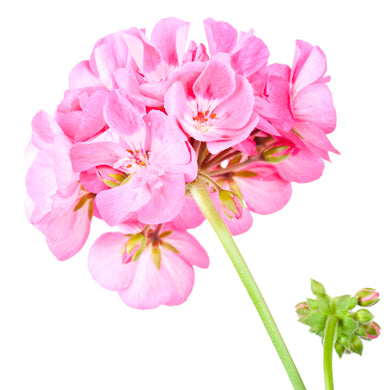 Rose Geranium Essential Oil 15ml