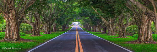 Bridge Road Ficus Tree Canopy Hobe Sound Florida Panorama